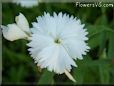 white dianthus picture