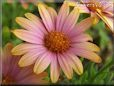 pink african daisy pictures
