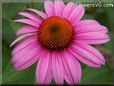 pink coneflower  pictures