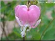 Bleeding Heart  flower picture
