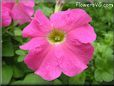 pink petunia picture