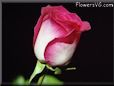 rose flower picture