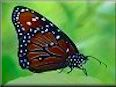 Queen butterfly picture